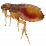 Fleas - big rise in numbers