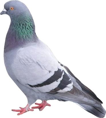 merpati ke arah aiza belum sempat aiza berpaling dari burung burung