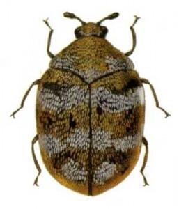 Adult Varied Carpet Beeetle