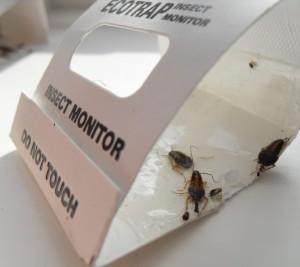 German cockroaches (Blattella germanica) caught inside a cockroach detector