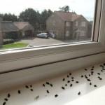 Cluster Flies Norwich Norfolk pic[1]